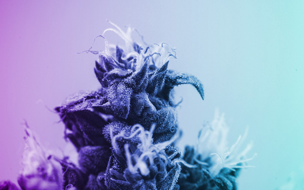 8 Rare Cannabis Strains Worth Searching High (and Low) For