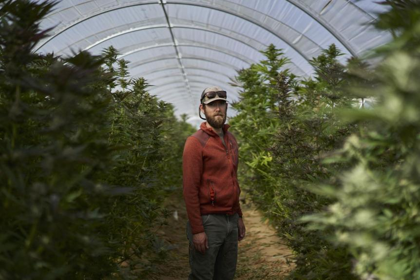 Marijuana is Emerging Among California's Vineyards, Offering Promise and Concern