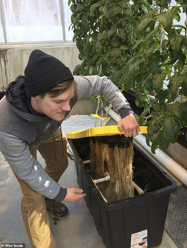 Colton Welch checks root development on hydroponic tomato plants which will provide students with data applicable to cannabis cultivation at the State University of New York at Morrisville