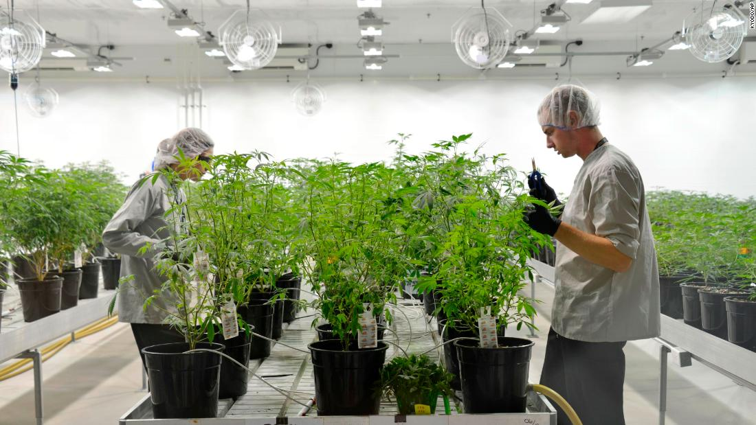 Workers harvest cannabis plants in July 2018 at a facility operated by Canopy Growth in Smith Falls, Ontario.