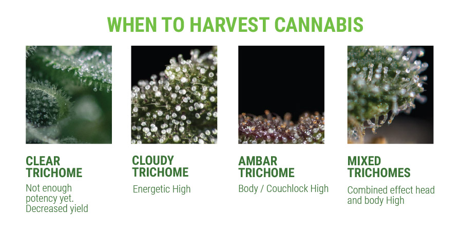 Trichomes & Harvest