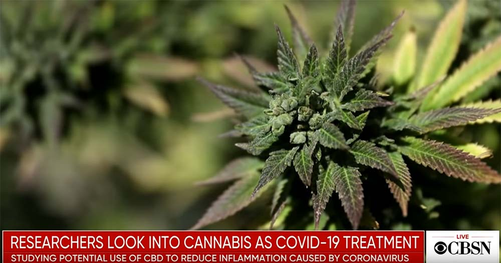 Video: U.S. Scientists Say Cannabis Could Fight COVID-19